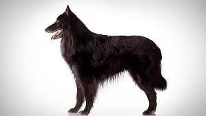 belgian sheepdog groenendael breeder belgian sheepdog dog breed selector animal planet