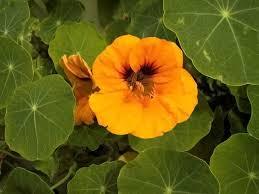 nasturtium flowers tropaeolum