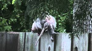 possum family in the backyard 2 dropped baby youtube