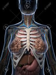Human Body Anatomy Pics 3d Rendered Illustration Of The Female Anatomy Stock Photo