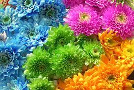 flower mums flowers word lotus flower desktop backgrounds hd 16 9