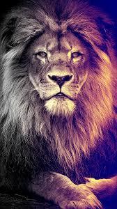 pretty lion wallpaper wallpaper lion wallpaper
