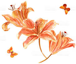 watercolor drawing of orange colored lilies with butterflies stock