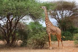 giraffe free stock photo public domain pictures