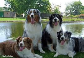 australian shepherd joint problems australian shepherd dog breed guide preloved uk