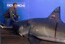 Great White Shark Attack Cape Cod - valley news shark worries on cape cod