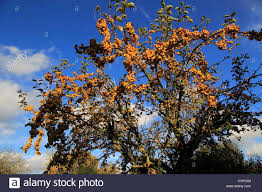 yellow berries on ornamental crab apple tree set against blue sky