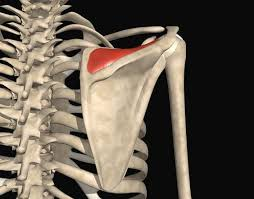 How To Palpate Subscapularis Top 17 Idei Despre Subscapularis Muscle Pe Pinterest Trigger