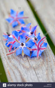 edible blue flowers borage flowers in up also known as starflower this edible