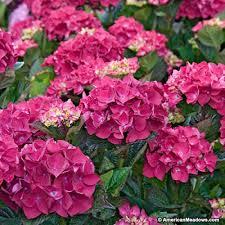 pink hydrangea mophead hydrangea forever pink hydrangea macrophylla mophead
