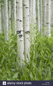 aspen tree flower stock photos aspen tree flower stock images grove of aspen trees with white bark and wild flowers growing in their shade stock