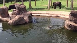 oklahoma city zoo elephants youtube