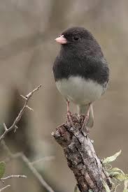 dark eyed junco dark bird and feathers