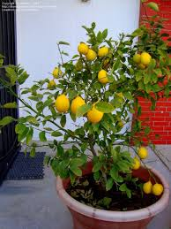 plantfiles pictures citrus hybrid meyer lemon valley lemon