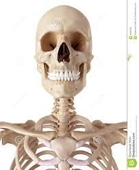 the human skull and neck stock illustration illustration of