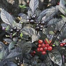 ornamental pepper calico pg 2015 annuals