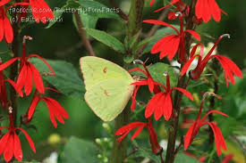cardinal flower cardinal flower lobelia cardinalis butterfly nectar