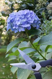 hydrangea how to prune hydrangeas change their color revive wilting blooms
