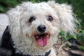 poodle x bichon frise best dog food for bichon frisé dakota says