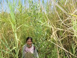 native plants of colorado river delta flows help birds plants groundwater