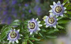 bbc nature violets and passion flowers videos news and facts