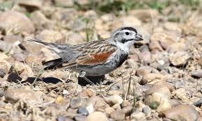 mccown u0027s longspur birds america online