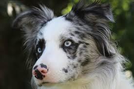 australian shepherd x border collie view topic σƨт ιи тнɛ cιтʏ ƭнɛ ƨтσяʏ σғ ғяιɛи ƨнιρ ɖσɢ яσℓɛ