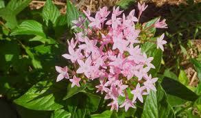 pentas flower pentas flower pink cluster flower