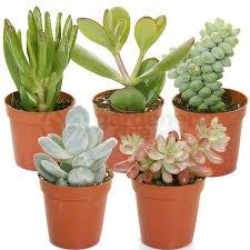 succulent house gardenersdream succulent mixed house plants x 5 gardenersdream