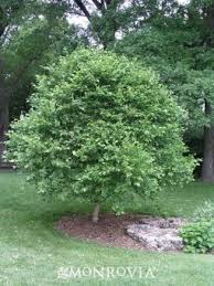 9 best ornamental trees for zone 4 images on best