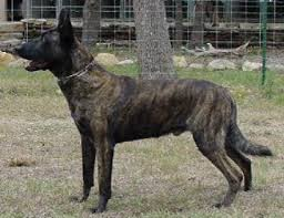 belgian shepherd vs labrador police canines in history dogs for law enforcement