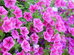 hanging flowers top 9 most beautiful flowers for hanging baskets the mysterious