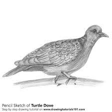 drawn turtle dove white pigeon pencil and in color drawn turtle