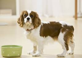 australian shepherd allergies how to tell if your dog has food allergies american kennel club