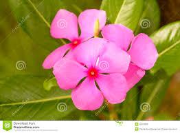 madagascar native plants catharanthus roseus stock photo image 55073836