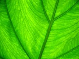 viewing image wallpaper green background light through leaf