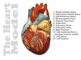 Sheep Heart Anatomy Quiz Heart Model Pectinate Muscle Heart Model Opened Closed Slides