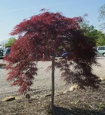 best 25 japanese maple varieties ideas on japanese