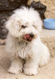 bichon frise breed standard bichon frise dog funny puppy u0026 dog pictures