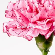 carnations flowers wedding flower of the week carnations brides