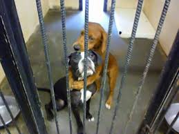 dog euthanasia shelter dog hugs friend hours before euthanasia and saves