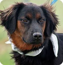 australian shepherd german shepherd mix for sale 10 unreal springer spaniel cross breeds you have to see to believe