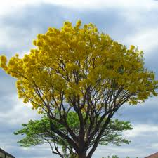 the best flowering trees for south florida