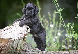 american eskimo dog for sale in kansas cocker spaniel puppies for sale akc puppyfinder