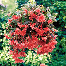 begonia flower illumination pink begonia seeds from park seed