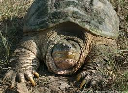 best 25 snapping turtle ideas on pinterest freshwater turtles
