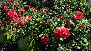 drift roses coral drift at lots of plants easy care groundcover