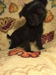 affenpinscher brussels griffon rescue view ad brussels griffon puppy for sale arizona litchfield park