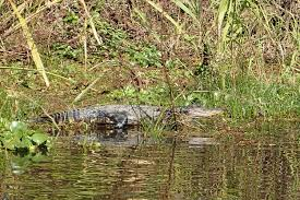 Louisiana Wildlife Tours images I 39 ll never do it again bayou tour in louisiana deviating the norm JPG