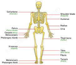 Anatomy Of The Human Skeleton Human Skeletal System Human Body Facts Skeleton U0026 Bones Facts